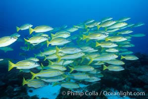Schooling blue and gold snapper and Mexican goatfish, Lutjanus viridis, Mulloidichthys dentatus, Cocos Island