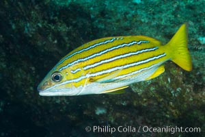 Blue and gold snapper, Sea of Cortez, Baja California, Mexico, Lutjanus viridis