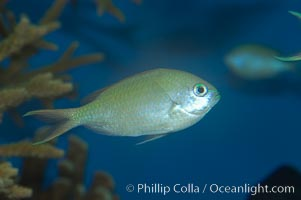 Blue green chromis., Chromis viridis, natural history stock photograph, photo id 07920