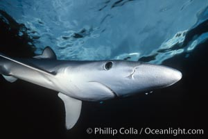 Blue shark, detail showing ampullae of Lorenzini, Prionace glauca, San Diego, California