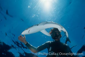 Blue shark and diver, Prionace glauca, San Diego, California