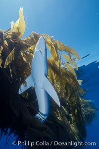 Blue shark searching drift kelp for food, open ocean. San Diego, California, USA, Prionace glauca, natural history stock photograph, photo id 02287