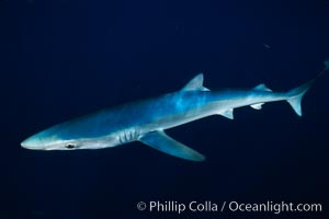 Blue shark, open ocean. San Diego, California, USA, Prionace glauca, natural history stock photograph, photo id 02292