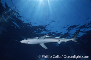 Blue shark, Baja California, Prionace glauca