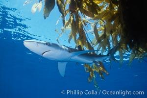 Blue shark, Baja California, Prionace glauca