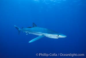 Blue shark, Baja California., Prionace glauca, natural history stock photograph, photo id 04877