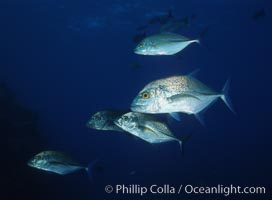 Blue spotted jack (also blue jack, blue trevally, bluefin trevally), Revilligigedos, Caranx melampygus