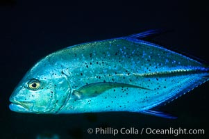 Blue spotted jack (also blue jack, blue trevally, bluefin trevally), Caranx melampygus, Maui