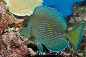 Blue tang, Acanthurus coeruleus