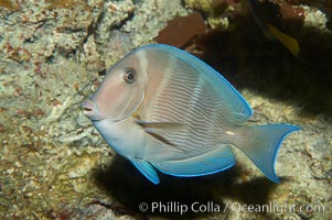 Blue tang, showing remnants of vertical bars characteristic of subadults, Acanthurus coeruleus