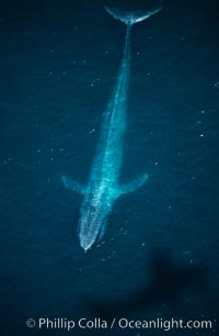 Blue whale aerial photo, with the shadow of the survey plane providing scale as to how huge the whale really is, Balaenoptera musculus