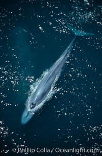 Blue whale, open blowholes, rounding out, Balaenoptera musculus