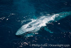 Blue whale, throat pleats distended during feeding, Balaenoptera musculus