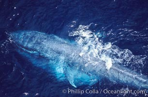 A blue whale eating krill.  This blue whale is seen feeding and surfacing amid krill with its throat fully engorged with krill and water.  It will push the water back out with its tongue, trapping the krill in its baleen which acts like a filter. Aerial photo, Baja California., Balaenoptera musculus, natural history stock photograph, photo id 05837