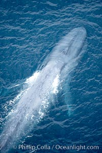 Blue whale, swimming through the open ocean, Balaenoptera musculus, copyright Phillip Colla Natural History Photography, www.oceanlight.com, image #21248, all rights reserved worldwide.