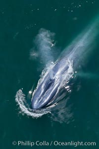 Spectacular aerial photographs of blue whales in California.  Balaenoptera musculus aerial photos, stock photography and pictures from California.
