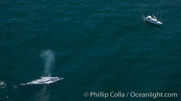 A blue whale swims near a sailboat.  The blue whale is the largest animal ever to have lived on Earth, exceeding 100&#39; in length and 200 tons in weight, Balaenoptera musculus, Redondo Beach, California