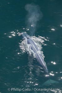 Blue whale, exhaling as it surfaces from a dive, aerial photo.  The blue whale is the largest animal ever to have lived on Earth, exceeding 100' in length and 200 tons in weight. Redondo Beach, California, USA, Balaenoptera musculus, natural history stock photograph, photo id 25974