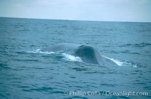 Blue whale, approaching showing blowhole splashguard, Balaenoptera musculus