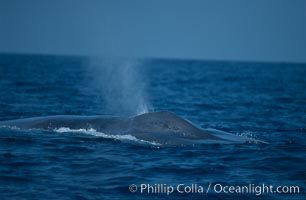 Blue whale, exhaling, note splashguard foreward of blowholes, Baja California., Balaenoptera musculus,  Copyright Phillip Colla, image #03045, all rights reserved worldwide.
