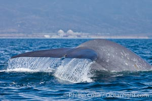 Blue whale and San Onofre Nuclear Power generating station, raising fluke prior to diving for food, fluking up, lifting its tail as it swims in the open ocean foraging for food, Balaenoptera musculus, Dana Point, California