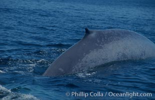 An enormous blue whale rounds out (hunches up its back) before diving.  Note the distinctive mottled skin pattern and small, falcate dorsal fin. Open ocean offshore of San Diego, Balaenoptera musculus