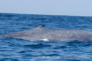 The characteristic falcate (rounded) dorsal fin and gray/blue mottled skin pattern of a blue whale.  The blue whale is the largest animal on earth, reaching 80 feet in length and weighing as much as 300,000 pounds.  Near Islas Coronado (Coronado Islands), Balaenoptera musculus, Coronado Islands (Islas Coronado)