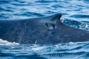 Blue whale, dorsal fin with remora hanging off, Balaenoptera musculus, San Diego, California