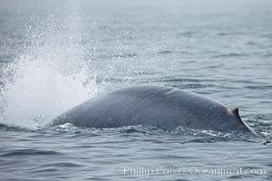 Blue whale exhaling in a blast as it dives underwater in the Santa Barbara Channel, Balaenoptera musculus, Santa Rosa Island, California