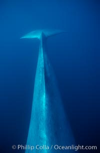 Blue whale, dorsal aspect of peduncle stem and fluke, Baja California, Balaenoptera musculus