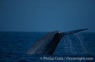 Blue whale, lifting fluke before diving, Baja California, Balaenoptera musculus