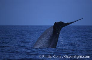 Blue whale, lifting fluke before diving, Baja California, Balaenoptera musculus, copyright Phillip Colla Natural History Photography, www.oceanlight.com, image #03043, all rights reserved worldwide.