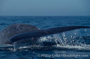 Blue whale fluking up before a dive,  Baja California (Mexico), Balaenoptera musculus