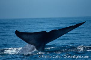 Blue whale fluke,  Baja California (Mexico)., Balaenoptera musculus, natural history stock photograph, photo id 03339