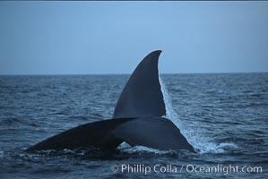 Blue whale, raising fluke prior to dive, Baja California, Balaenoptera musculus