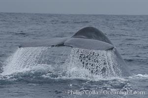 Water sheets off a blue whales fluke as the whale raises its before diving for food.  Offshore Coronado Islands, Balaenoptera musculus, Coronado Islands (Islas Coronado)