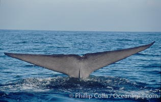 An enormous blue whale raises its fluke (tail) high out of the water before diving.  Open ocean offshore of San Diego. San Diego, California, USA, Balaenoptera musculus, natural history stock photograph, photo id 07552