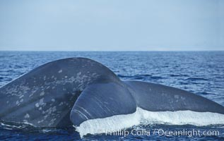 An enormous blue whale raises its fluke (tail) high out of the water before diving.  Open ocean offshore of San Diego, Balaenoptera musculus