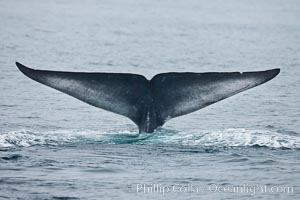 Blue whale fluke (tail) lifted high above the water as the whale dives in the Santa Barbara Channel, Balaenoptera musculus, Santa Rosa Island, California