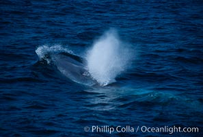 Blue whale surfacing, Balaenoptera musculus, San Miguel Island