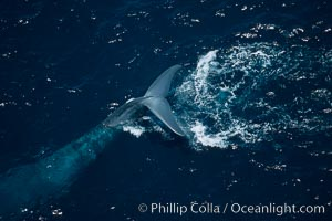 Blue whale, fluke up before dive, Balaenoptera musculus