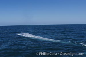 An enormous blue whale is stretched out at the surface, resting, breathing and slowly swimming, during a break between feeding dives. Open ocean offshore of San Diego. San Diego, California, USA, Balaenoptera musculus, natural history stock photograph, photo id 07529