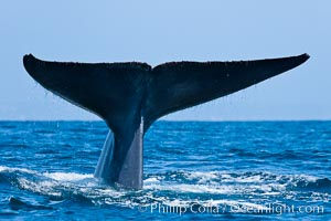 Blue whale, raising fluke prior to diving for food, Balaenoptera musculus, San Diego, California