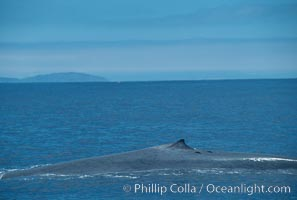 Blue whale surfacing, Isla Coronado del Norte in background,  Baja California (Mexico), Balaenoptera musculus, Coronado Islands (Islas Coronado)