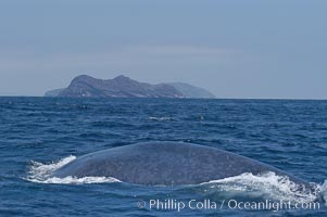 A blue whale rounds out at the surface before diving in search of food.  A blue whale can stay submerged while foraging for food for up to 20 minutes.  The blue whale is the largest animal on earth, reaching 80 feet in length and weighing as much as 300,000 pounds.  North Coronado Island is in the background, Balaenoptera musculus, Coronado Islands (Islas Coronado)