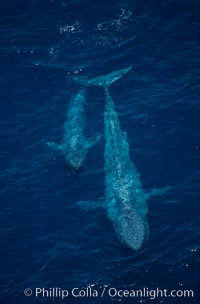 Blue whale, mother and calf, swimming at surface between dives, open ocean, aerial view, Balaenoptera musculus