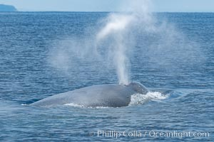 Blue whale, exhaling in a huge blow as it swims at the surface between deep dives. The blue whale's blow is a combination of water spray from around its blowhole and condensation from its warm breath, Balaenoptera musculus, San Diego, California