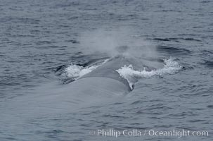 A blue whale blows (spouts) just as it surfaces after spending time at depth in search of food.  Offshore Coronado Islands, Balaenoptera musculus, Coronado Islands (Islas Coronado)