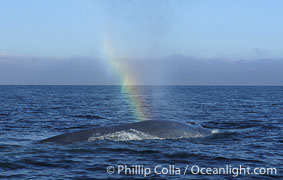 A rainbow forms in the blow (spout) of this enormous blue whale at it is stretched out at the surface, resting and slowly swimming, during a break between feeding dives. Open ocean offshore of San Diego, Balaenoptera musculus