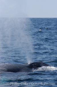 A blue whale blows (exhales, spouts) as it rests at the surface between dives.  A blue whales blow can reach 30 feet in the air and can be heard for miles.  The blue whale is the largest animal on earth, reaching 80 feet in length and weighing as much as 300,000 pounds.  South Coronado Island is in the background, Balaenoptera musculus, Coronado Islands (Islas Coronado)